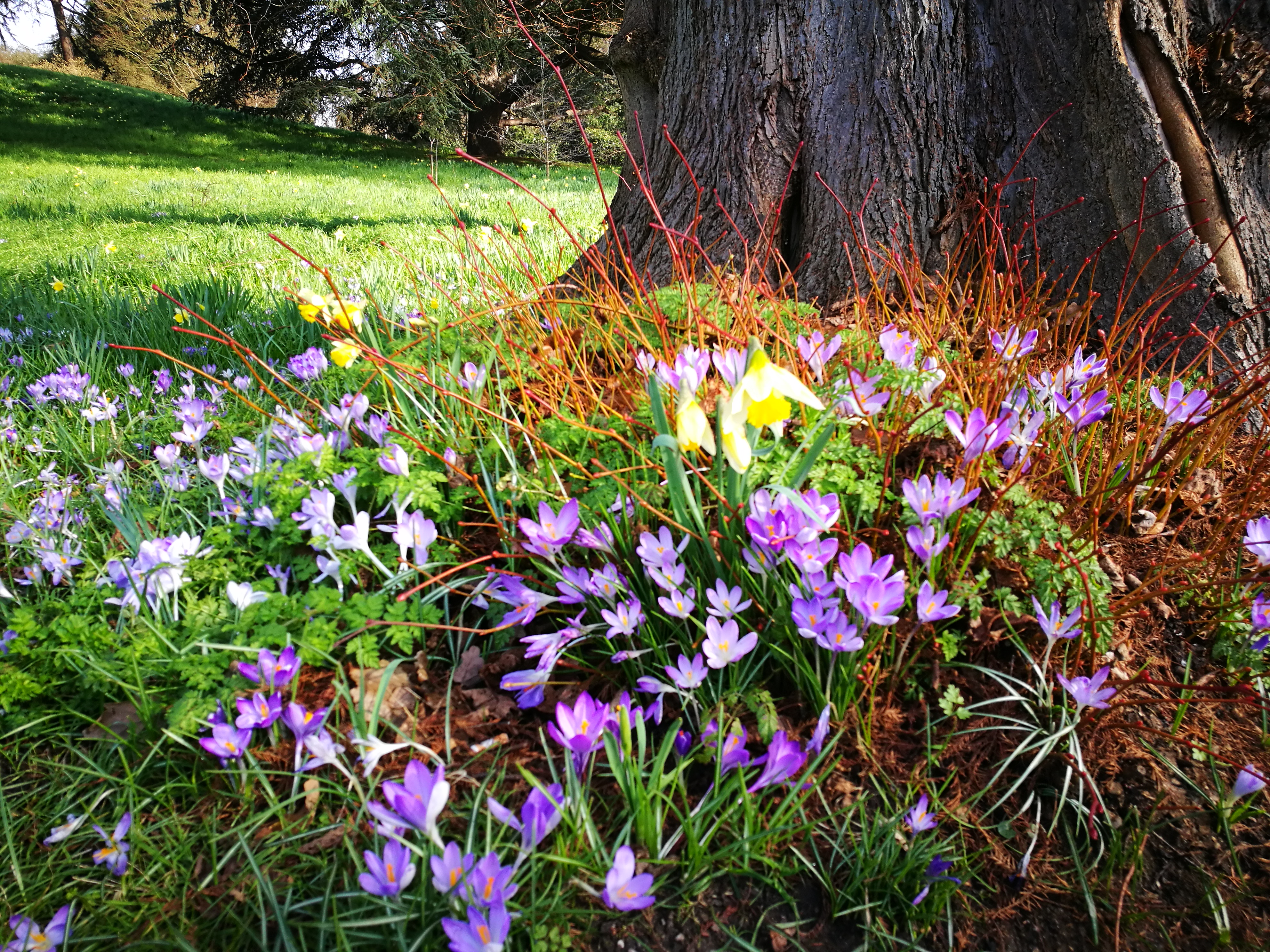 Crocus and daffodils growing under a tree.